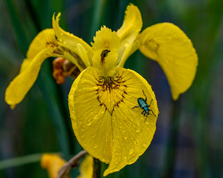 Yellow iris with a leaf beetle of the Donaciinae