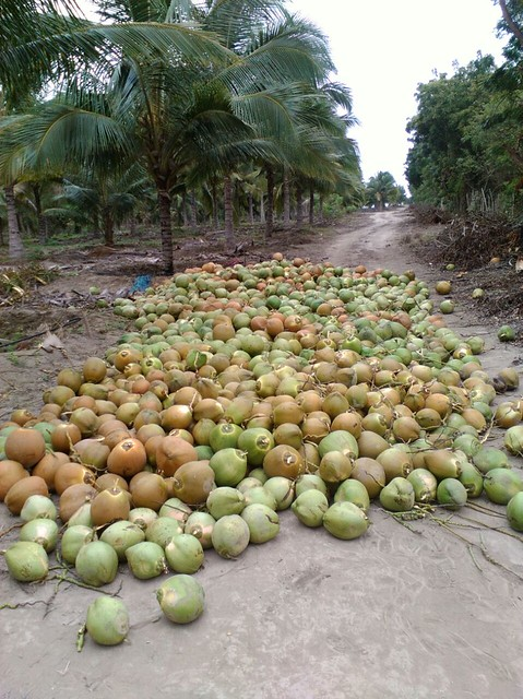 ecuador coconut plantation