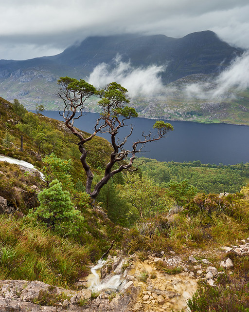 The Hardy Scots Pine