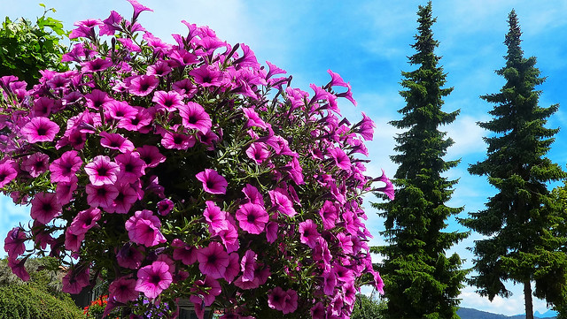 SWITZERLAND - Two spruce trees admire the flowering petunias!