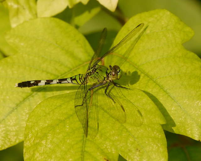 Eastern Pondhawk on Poison Ivy