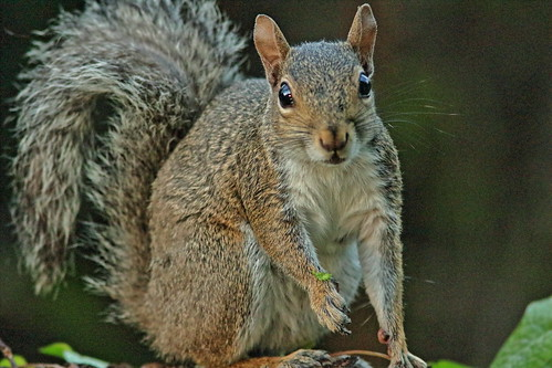 Gray Squirrel 01-20190902