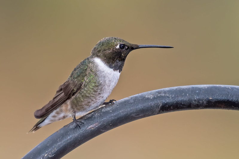 Black-Chinned-Hummer-30-7D2-081419