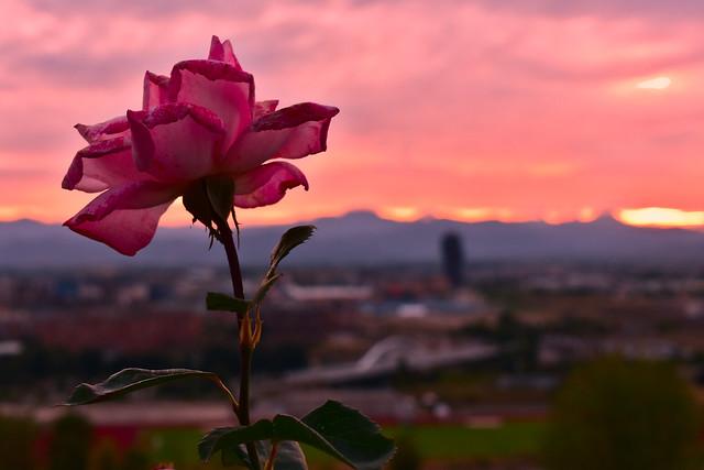 Pink rose sunset