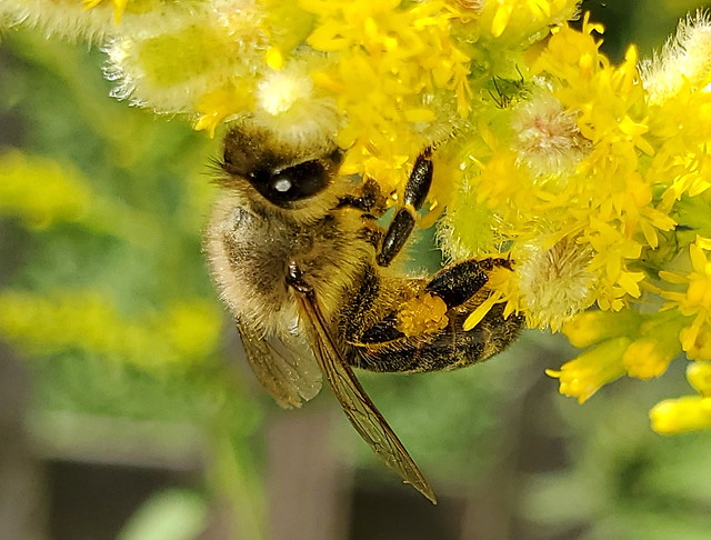 Honey Bee Feeding On Goldenrod Flowers. Taken With A Samsung Galaxy S10 Smartphone. 20190902_130259