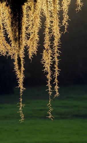 tillandsiausneoides spanishmoss plant louisiana lakebistineau sunrise hangingmoss nature