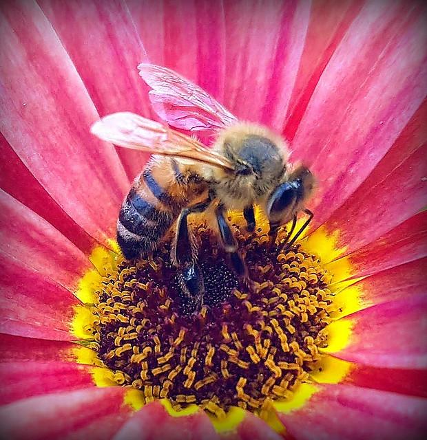 A bee on a daisy
