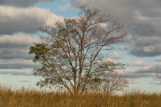 Tree on Gloden Dune