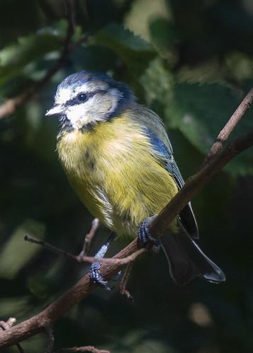 Blue tit ( Cyanistes caeruleus )