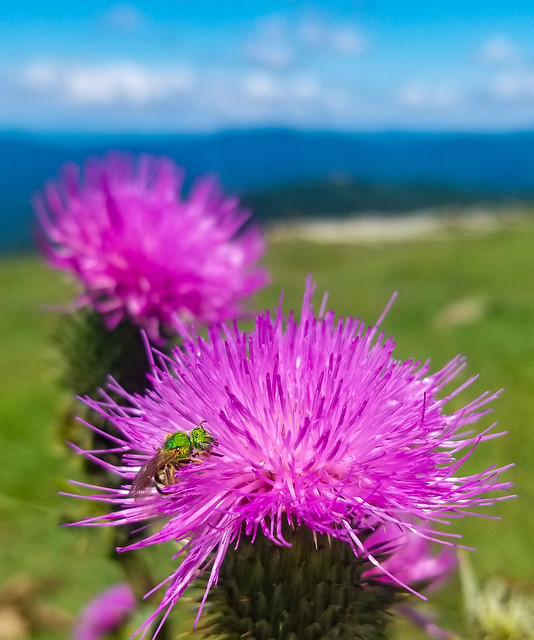 Green bee on a pink thistle in the Blue Ridge mountains on Bear Wallow mountain - visit the 360 virtual tour from the mountain in the description