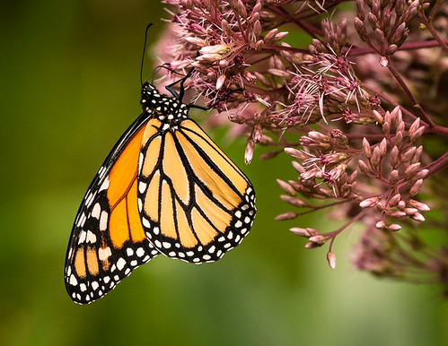 Monarch on Joe-pye-weed