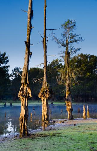 cypresstrees lakebistineau lake swamp sunrise louisiana trees northlouisiana