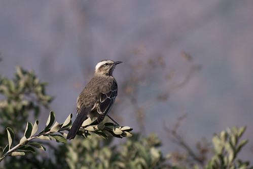 Chilean Mockingbird (Mimus thenca)