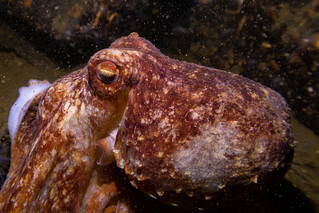 Curled Octopus (Eledone cirrhosa)