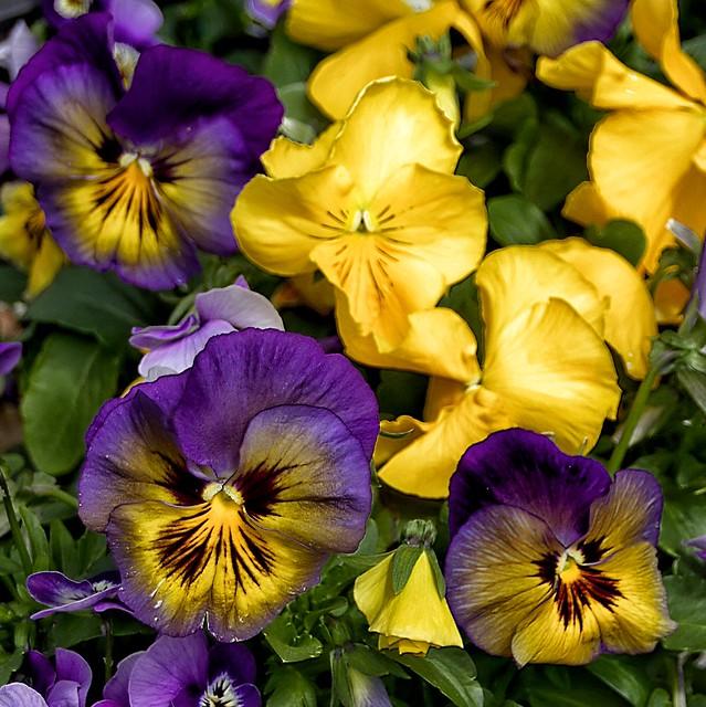 Toronto Ontario - Canada - Allan Gardens Conservatory - Toronto Tropical Garden - Landmark -  Pansies  Cluster