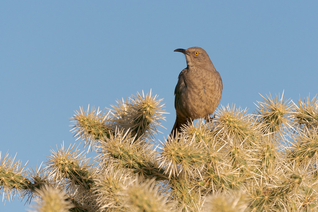 A curve-billed thrasher perches on a chain fruit cholla on the Marcus Landslide Trail in McDowell Sonoran Preserve in Scottsdale, Arizona in December 2018