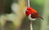 Chrysothlypis salmoni - Scarlet-and-white Tanager - Tangara Rojiblanca - Chococito Escarlata male 17 by jjarango