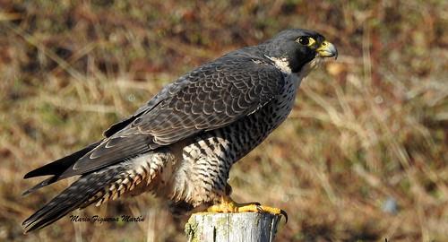 Halcon Peregrino (Falco peregrinus) 001