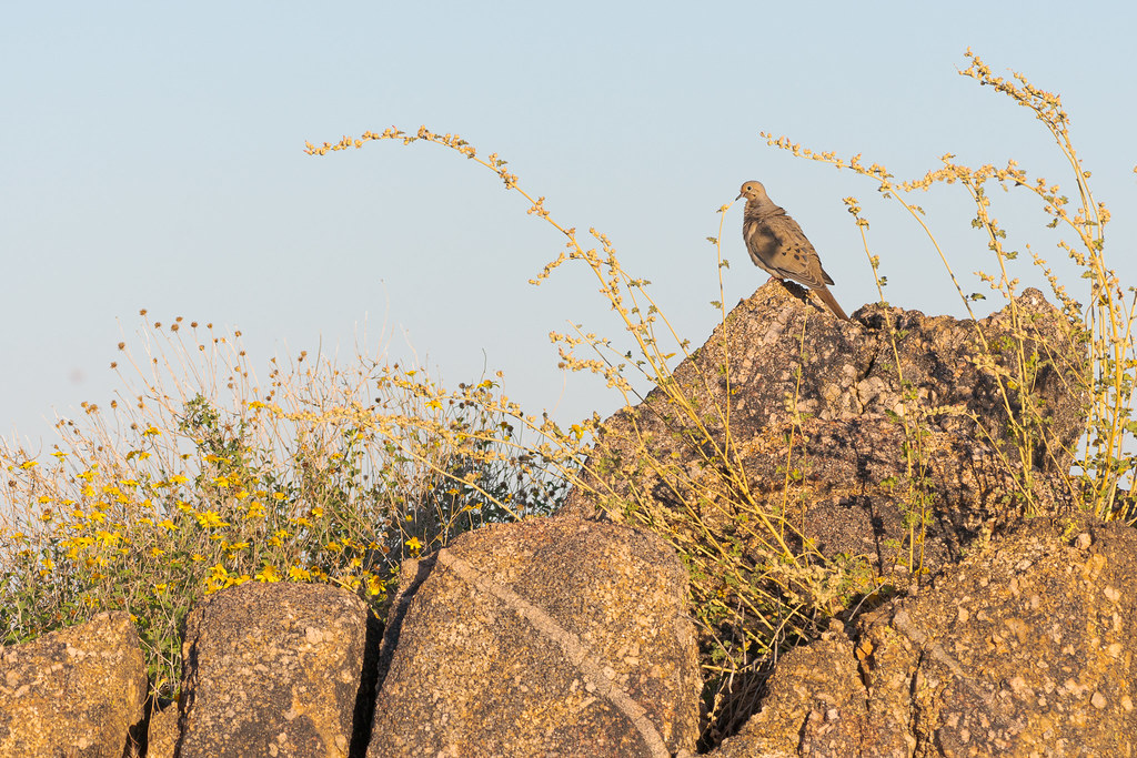 A mourning dove perches on granite rocks amidst yellow flowers along the Rustler Trail in McDowell Sonoran Preserve in Scottsdale, Arizona in May 2019