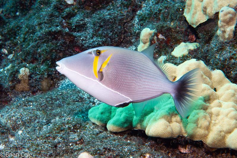 Lei Triggerfish (Sufflamen bursa)