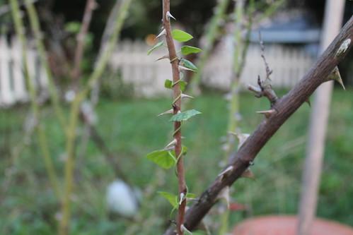 vine up rose branch