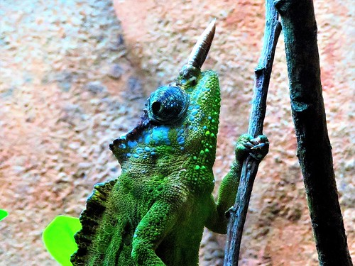 Cameroon Two Horned Mountain Chameleon