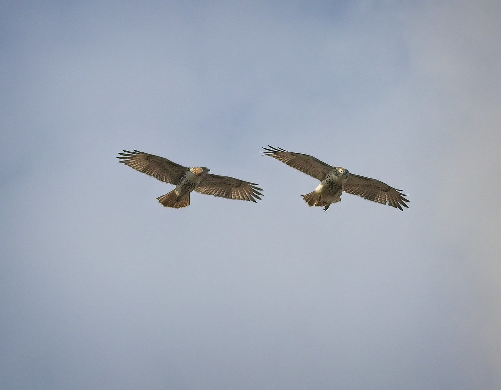 Immature red-tails