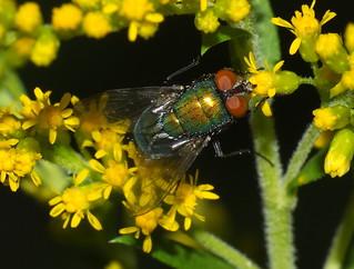 Small Green Fly Feeding On Goldenrod Flowers DSCF1947
