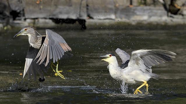Bihoreau gris ---------- mature et juvénie  --------------  black-crowned night heron --- Martinete común
