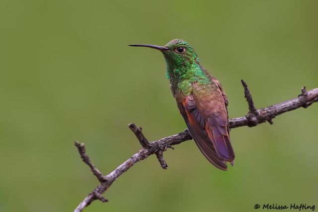 Berylline Hummingbird (Amazilia beryllina) - Portal, AZ