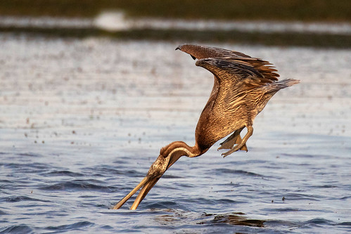 outdoor seaside shore sea sky water nature wildlife 7dm2 7d ii ef100400mm ocean canon florida bird flight bif