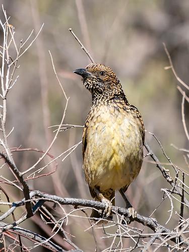 Western Bowerbird (Chlamydera guttata guttata)