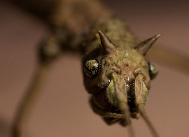 Medauroidea extradentata // patyczak rogaty