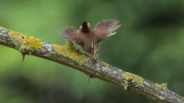 a Wren defending his territory