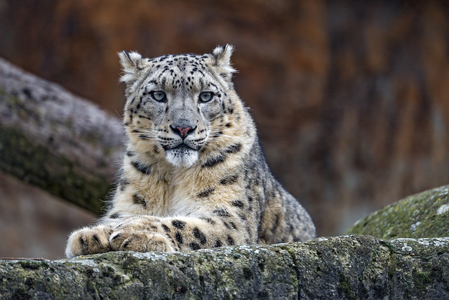 And now, the male snow leopard posing