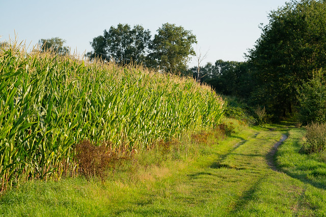 Corn on a field just outside Maasduinen National Park