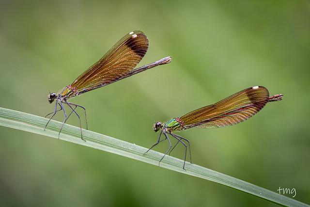 Dos/Two Calopteryx haemorrhoidalis