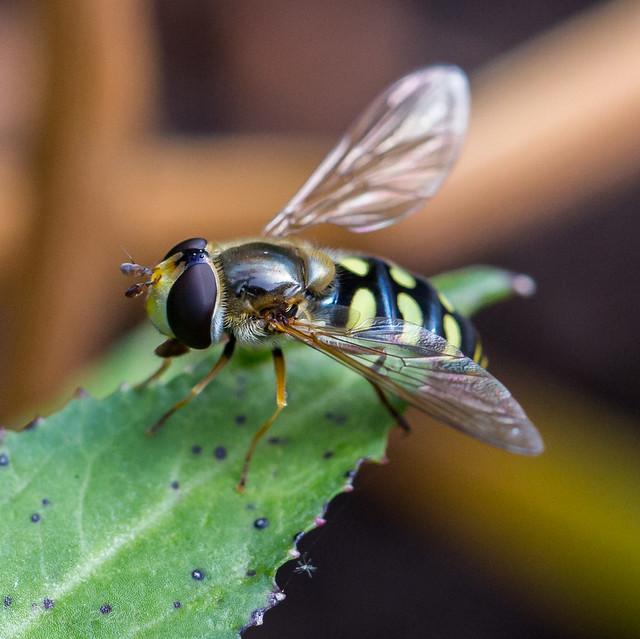 Is this Eupeodes corollae?