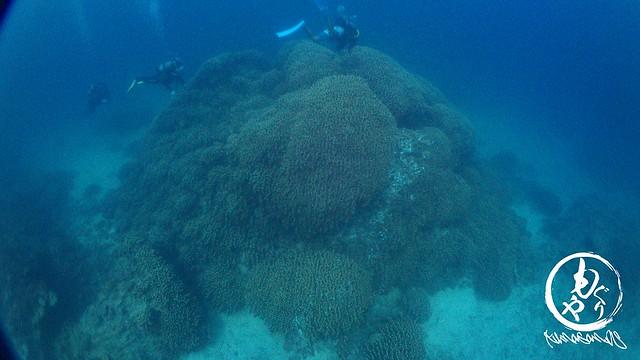 とても大きなコモンシコロサンゴ♪