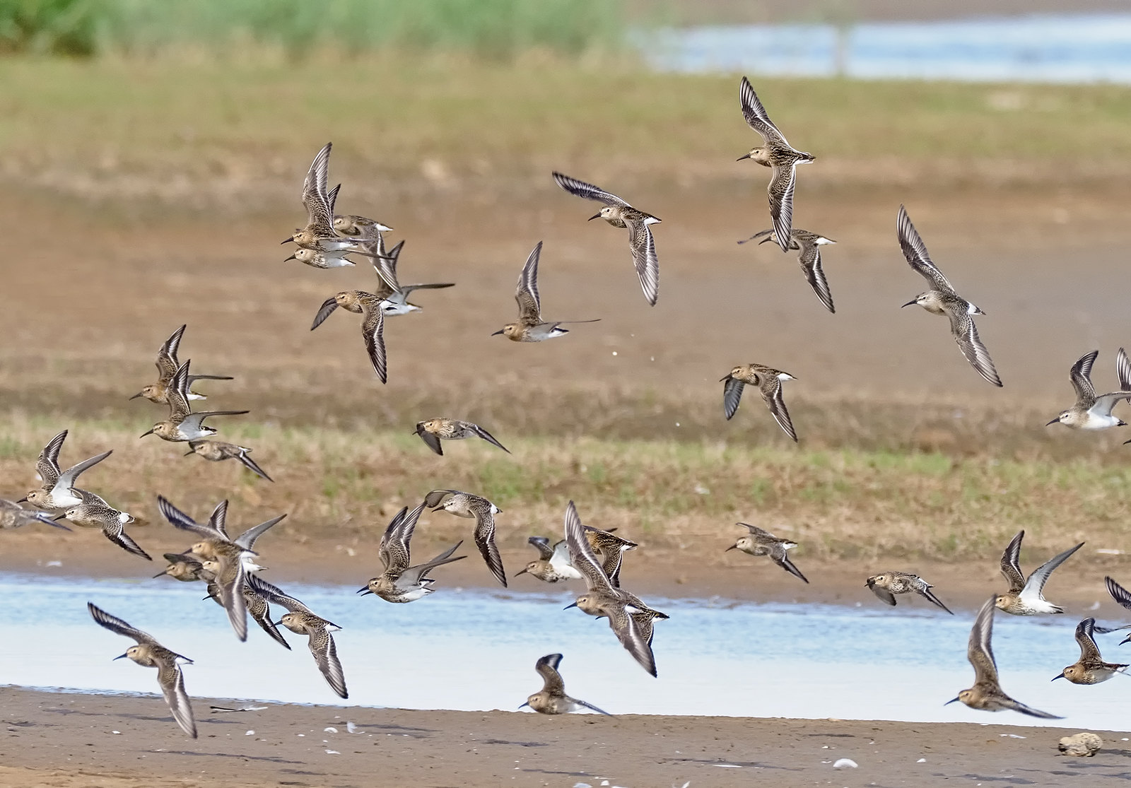 Dunlin and the odd Curlew Sandpiper