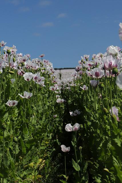 Tasmanian Poppy field