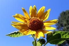 August Sunflower II