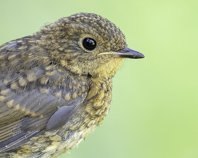 European robin ( juvenile ). Erathicus rubelicula