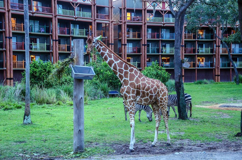 Giraffe AKL