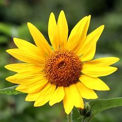August Sunflower I