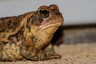 Eastern American Toad 08-29-2019 05