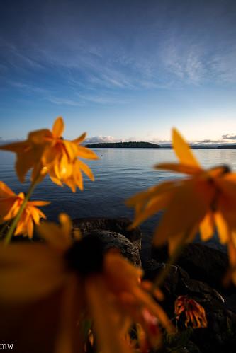 diamond island sunrise front bokeh black eyed susans blur new hampshire lake winnipesaukee