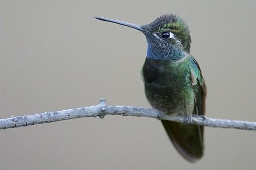 Rivoli's Hummingbird (Eugenes fulgens), Madera Canyon, Arizona