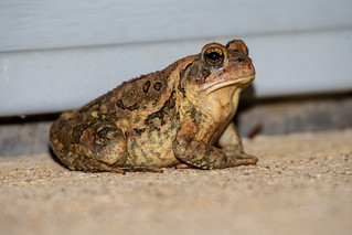 Eastern American Toad 08-29-2019 07