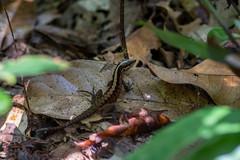 Forest Whiptail - Kentropyx pelviceps - Brazilian Amazon